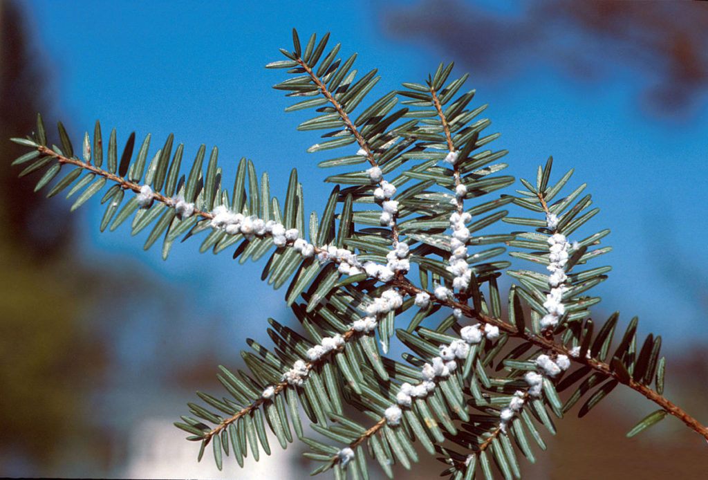woolly adelgid infestation Photographed by Michael Montgomery