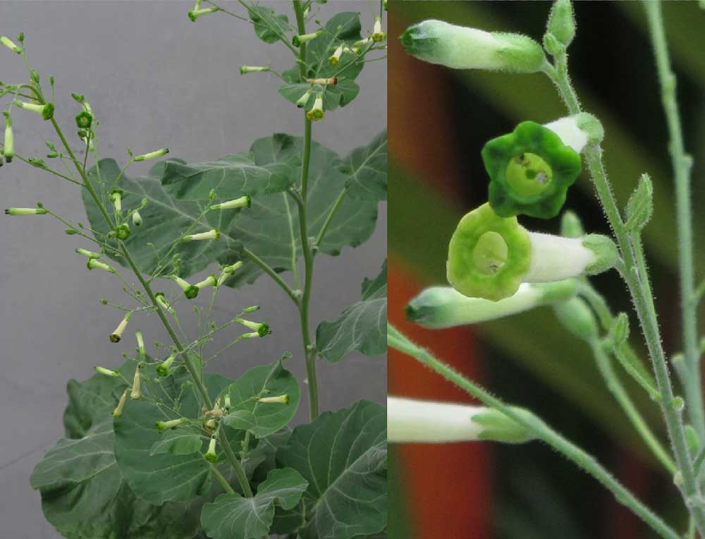 Nicotiana Paniculata tobacco plants horn worm history.